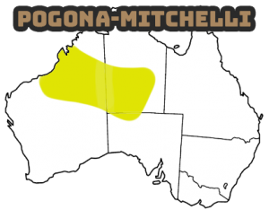 pogona mitchelli una de las especies mas raras de dragones barbudos
