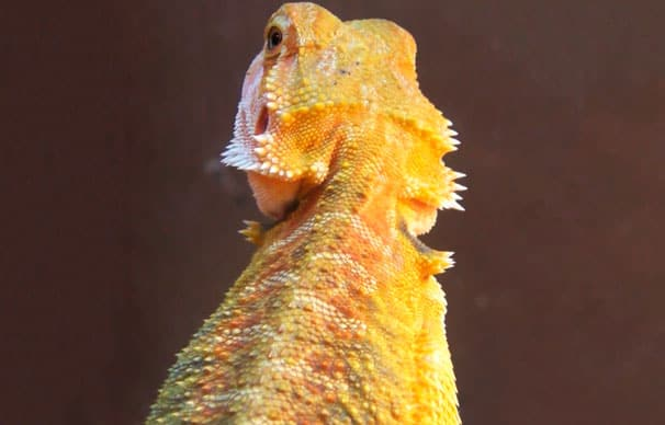 Pogona gold uno de los colores de pogonas más famosos