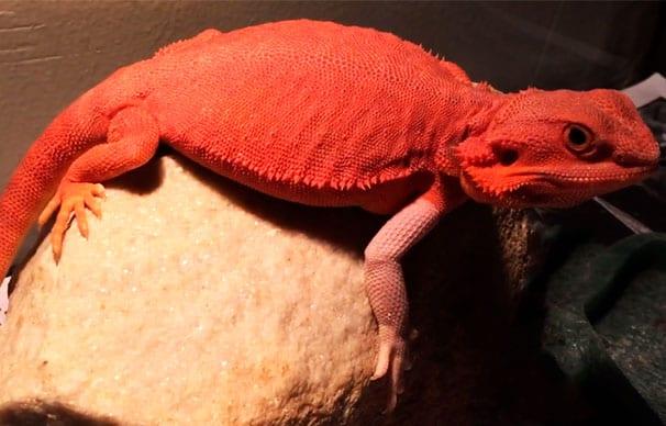 Pogona red con colores rojos