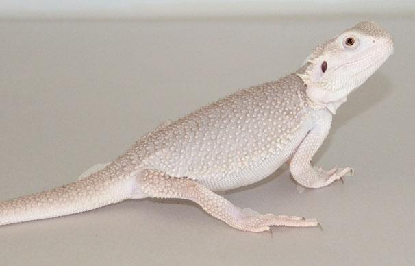 Pogona Zero se trata de un dragón barbudo blanco