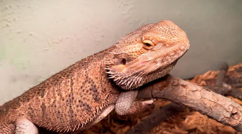 Un dragon barbudo a punto de dormirse