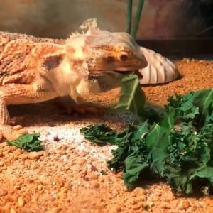 dragon barbudo muda piel en la cabeza