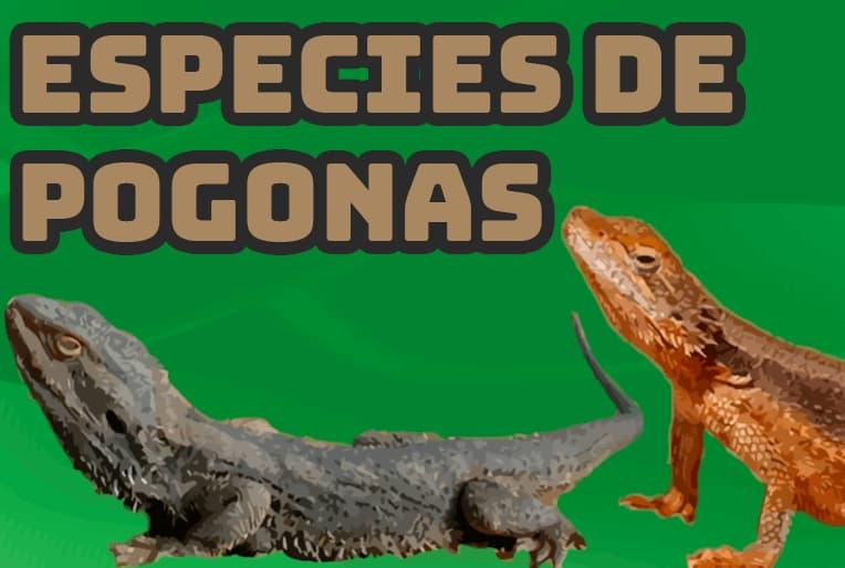 todas las distintas especies de pogonas que se pueden hallar en Australia