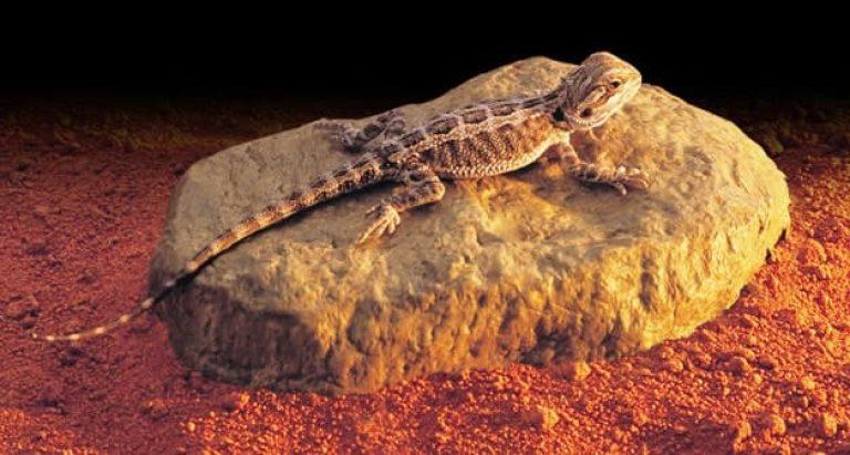 Piedra calefactora para reptiles con una pogona encima para mantener su temperatura