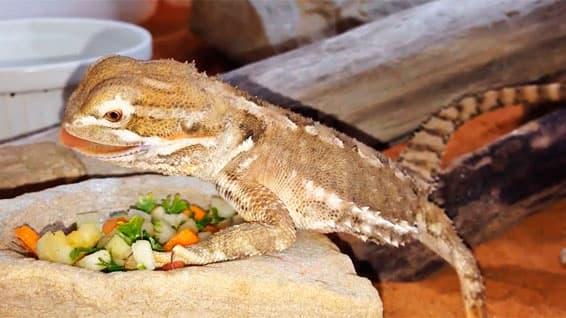 Una pogona henrylawsoni comiendo verdura