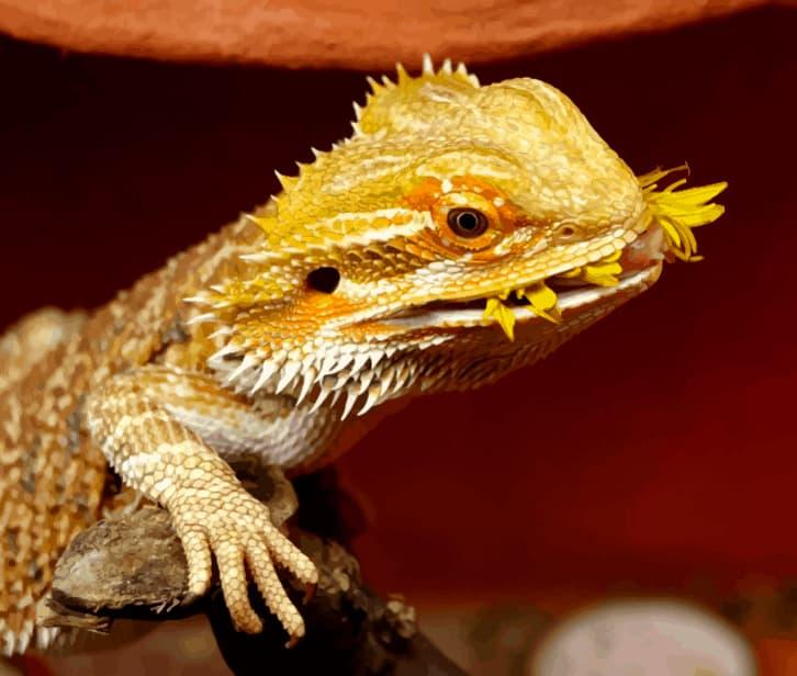 dragon barbudo comiendo una mascota perfecta para principiantes en el mundo de los lagartos