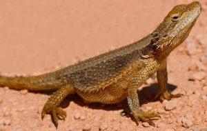 pogona minor minor tambien conocida como dragon barbudo occidental