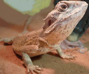 pogona minor mitchelli una de las ocho especies de pogona distintas dragon barbudo del oeste