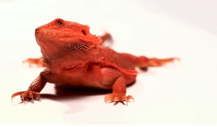 Pogona trans de color rojo